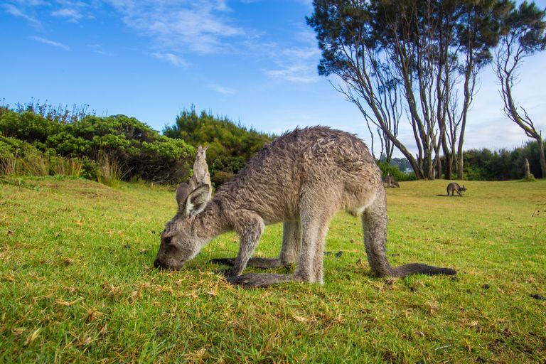 Kangaroo at Murramarang Sydney to Melbourne Road Trip