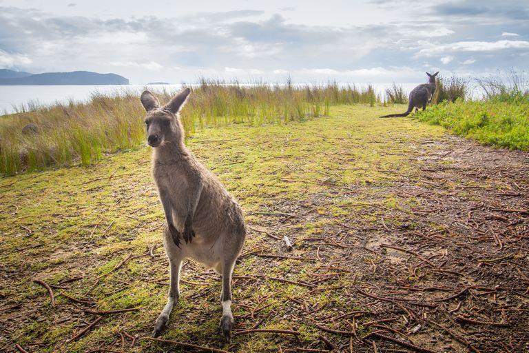 Lone Kangaroo at Murramarang Sydney to Melbourne Road Trip