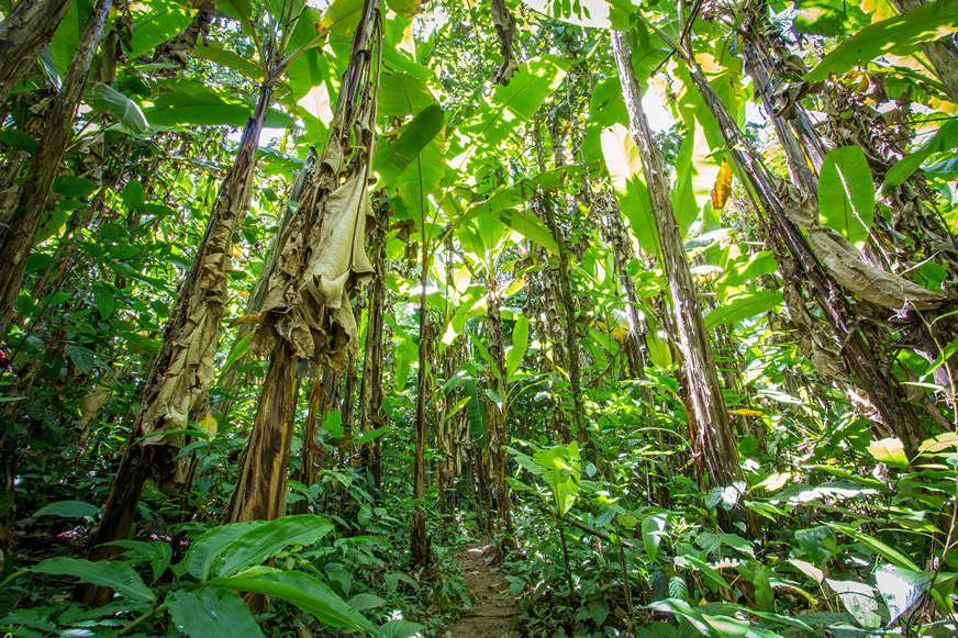 banana-trees-while-jungle-trekking-in-thailand