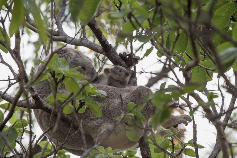 Koalas things to do on magnetic island
