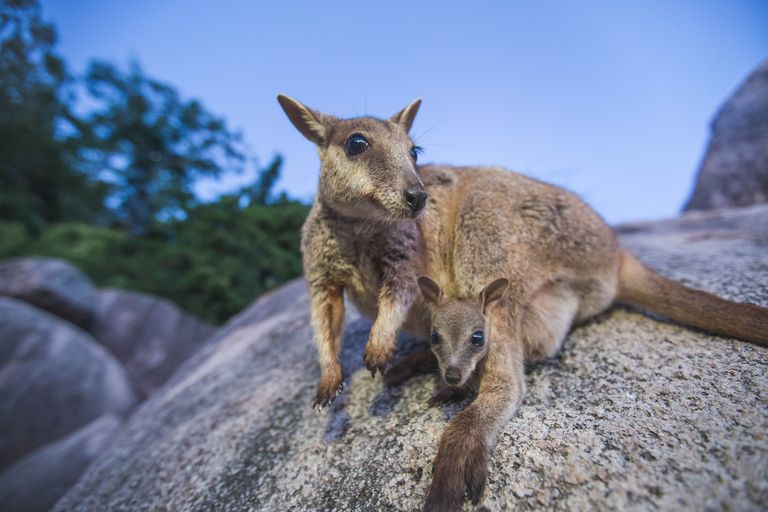 Magnetic Island Rock Wallaby