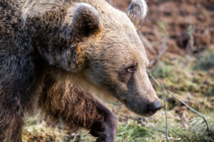 Wild Brown Bears in Finland