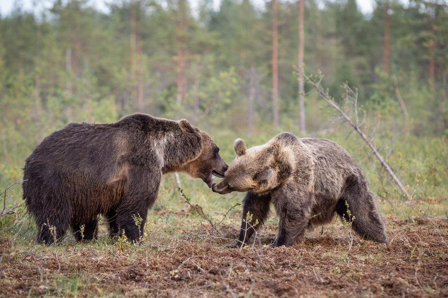 Wild Brown Bears Playing