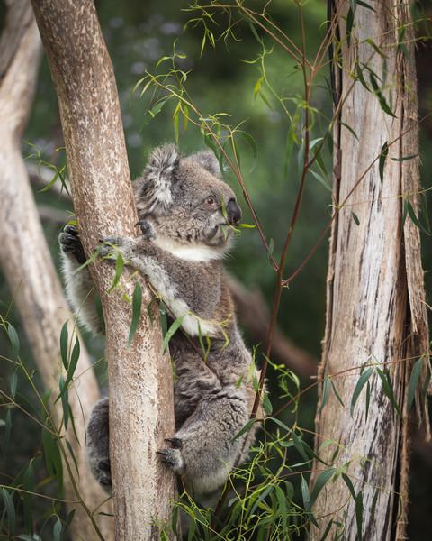 Koalas at Cape Otway National Park