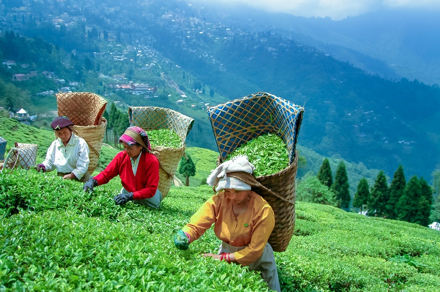 Darjeeling Tea Fields