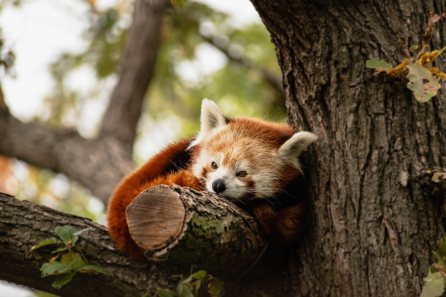 Red Panda - Darjeeling Zoo