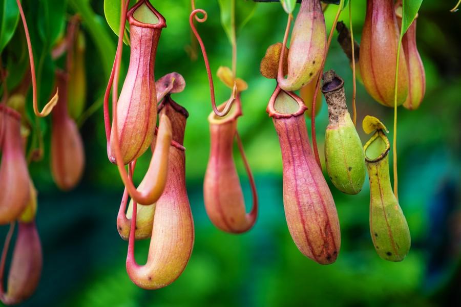 Pitcher Plant in Maliau Basin